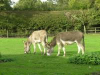 Our two donkeys